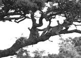Lions_in_tree