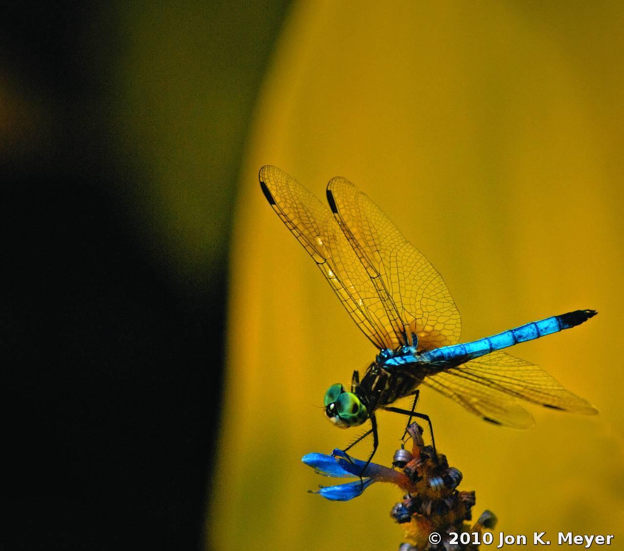 Electric Blue Dragonfly By Jon K Meyer Black Amp White
