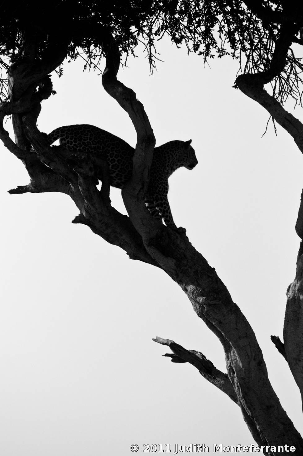 Leopard Silhouette Leopard silhouette