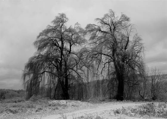Winter willow trees