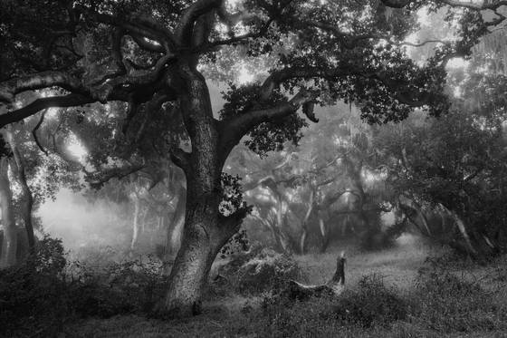 Ancient oaks 1