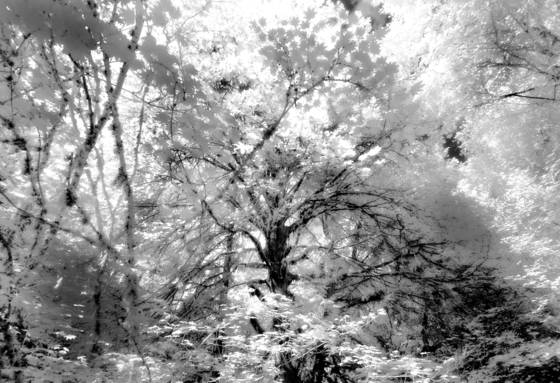 Forest_canopy