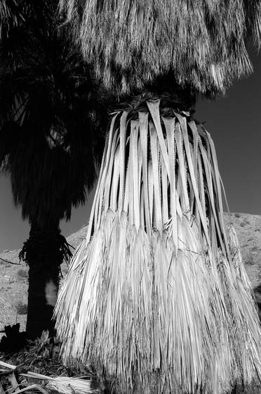 Palm_in_desert