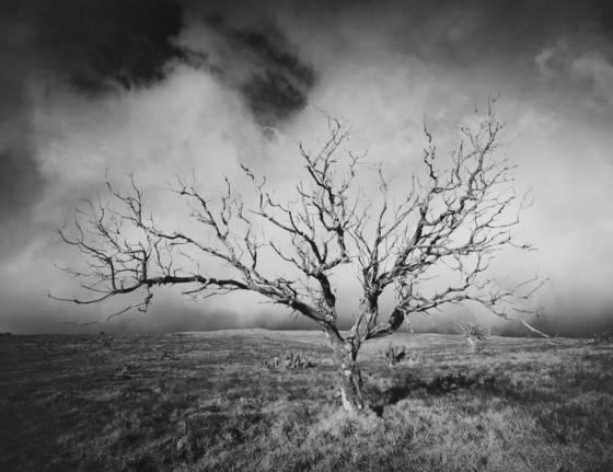 Mauna_kea_tree_study__2