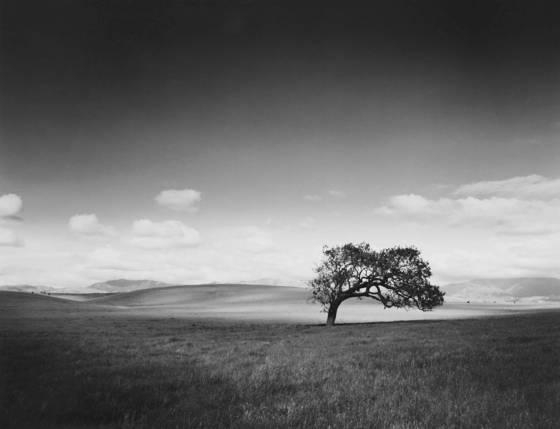 Solitary_oak
