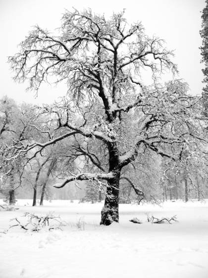 Snow_on_tree_branches