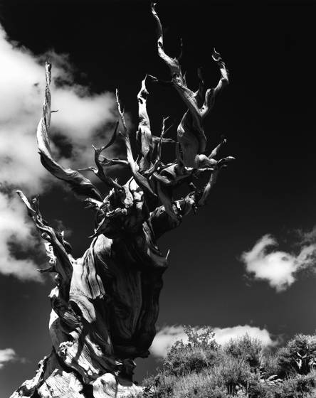 Bristlecone_pine