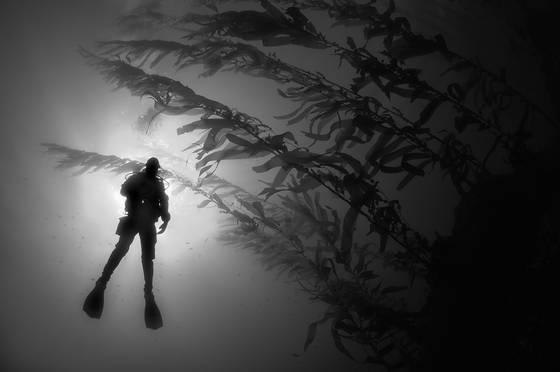 Diver_and_kelp