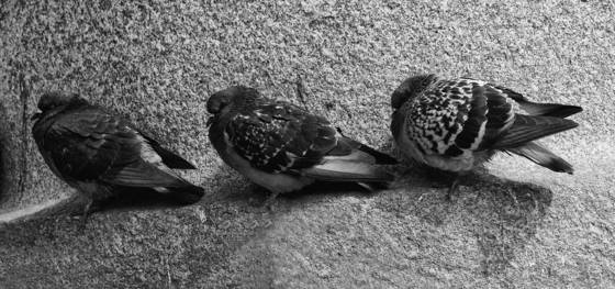 Three_pigeons