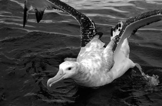 Wandering_albatross