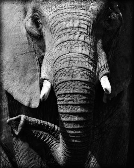 Elephant_trunk_twist