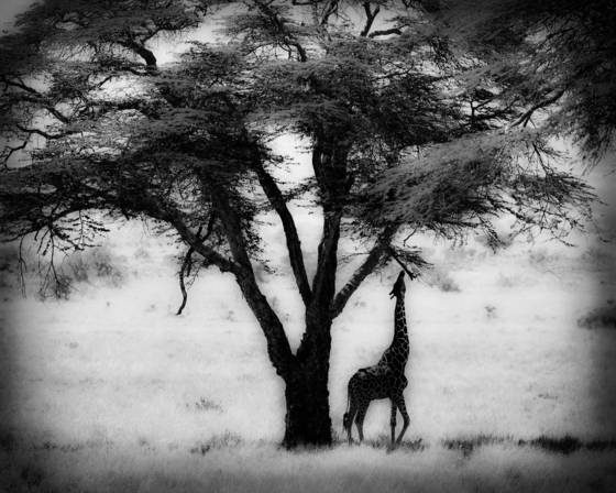 Giraffe_and_tree