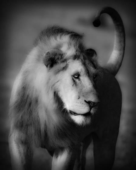 Lion_tail