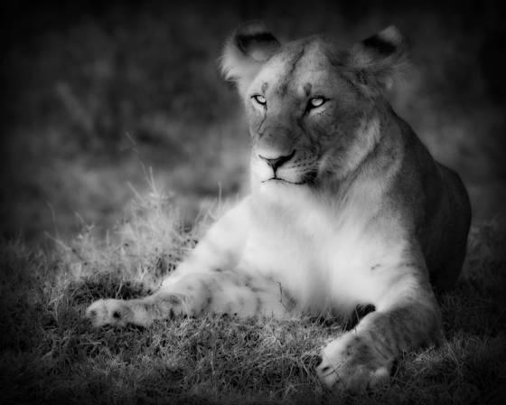 Lioness_1
