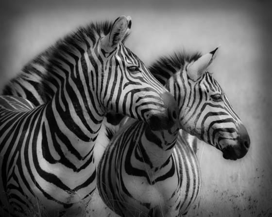 Two_zebras