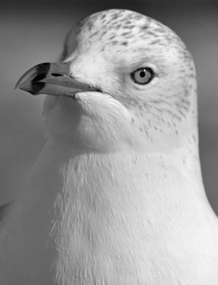 Seagull_portrait