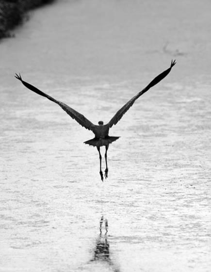 Distant_heron