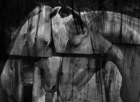 Horses__heads