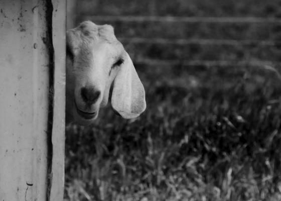Goat_3