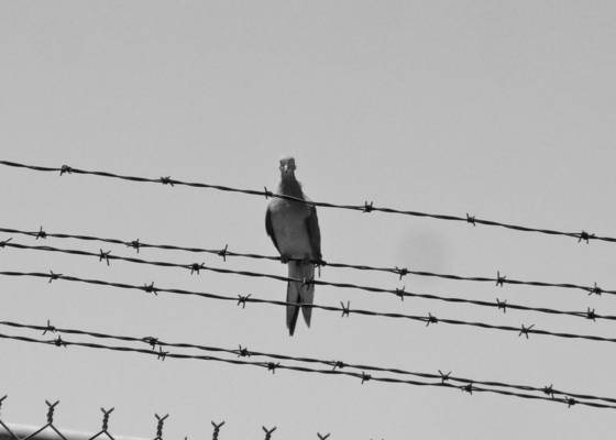 The persecuted pigeon