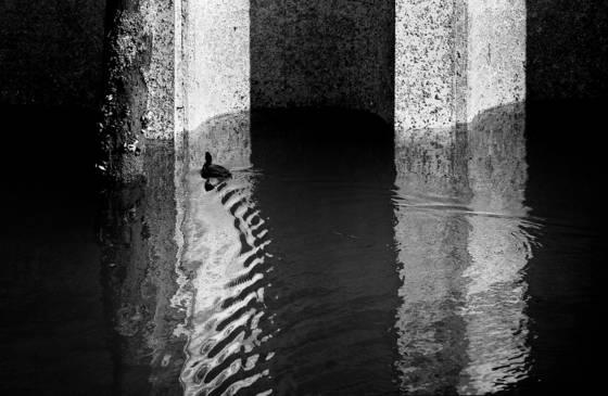 Duck_under_pier