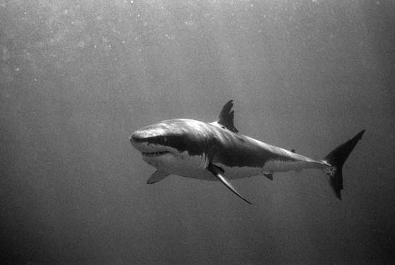 Scar  great white shark
