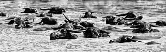 Buffalo_bath