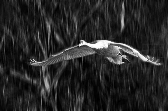 Swan_in_flight