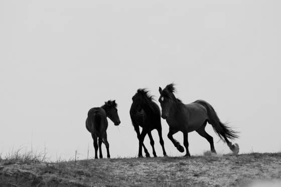 Mustangs_on_dune
