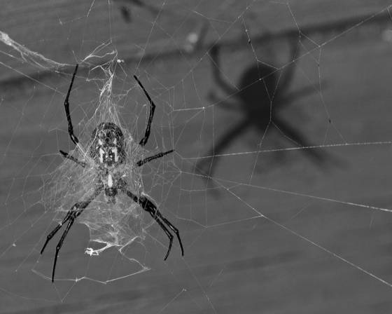 Argiope_and_shadow