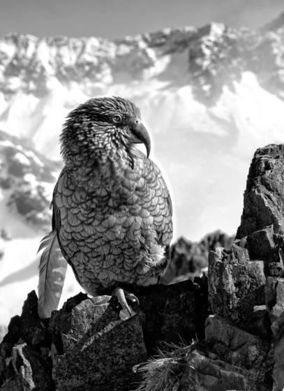 New_zealand_parrot