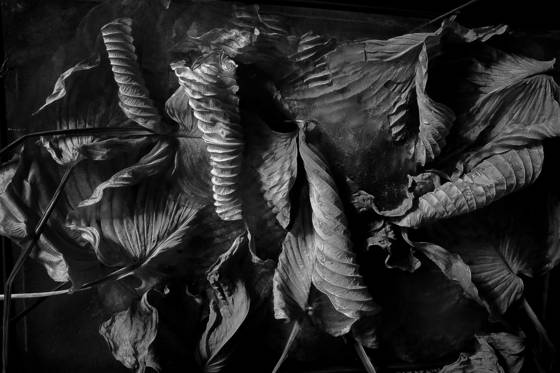 Dried_hosta_leaves