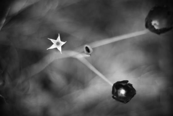 Star_flower