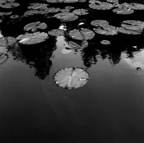 Lily_pads