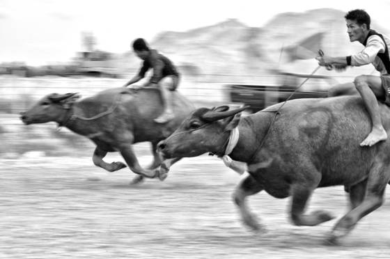 Buffalo_racing