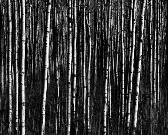 Aspen_trunks