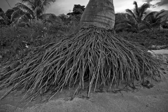 Palm_trunk