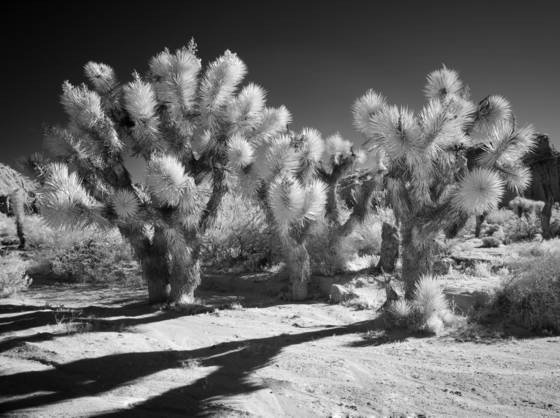 Flowering_joshua_trees