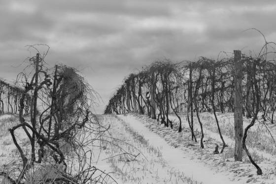Winter_vineyard_1