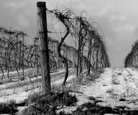 Winter_vineyard_2