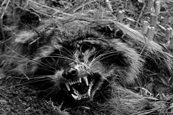 Dead_racoon