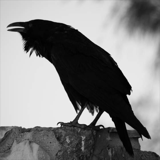 Desert_raven