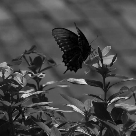 Butterfly_central_park