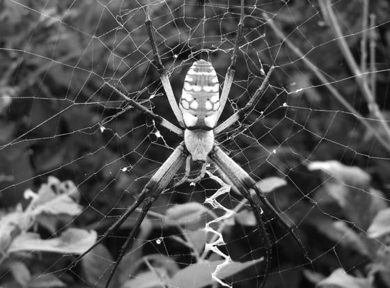 Banana_spider