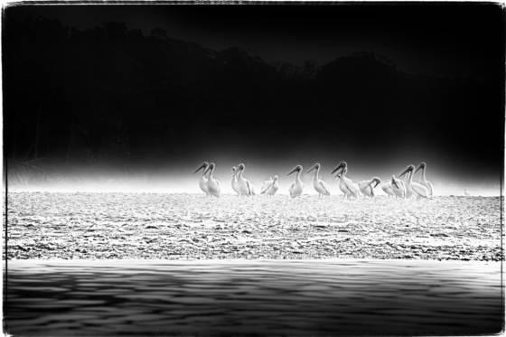 White_pelicans_ii