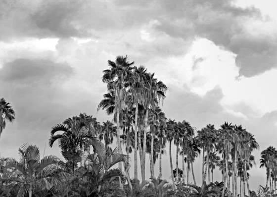 Palm_farm