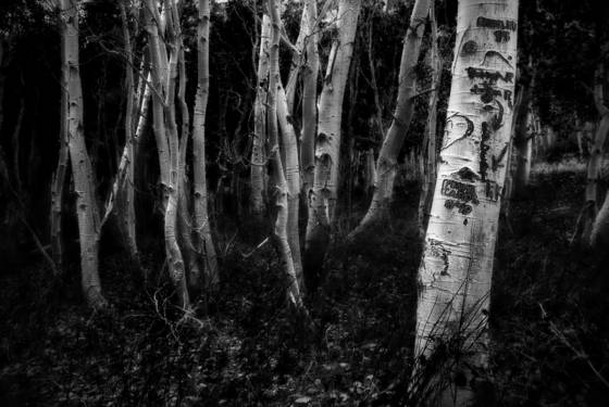 A_gathering_of_aspens