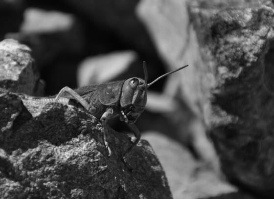 Alpine_grasshopper