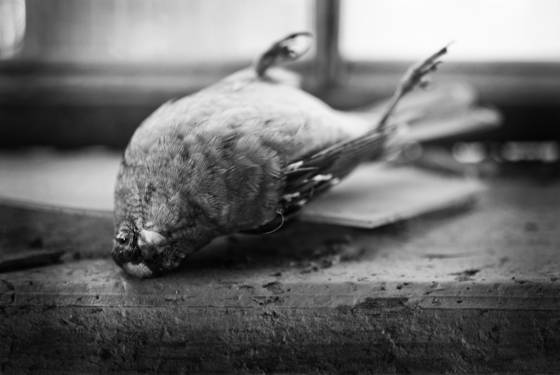 Dead_bird