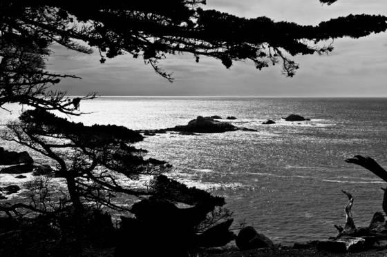 Monterey_cypress